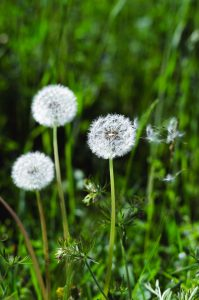 foto di tarassaco in fiore